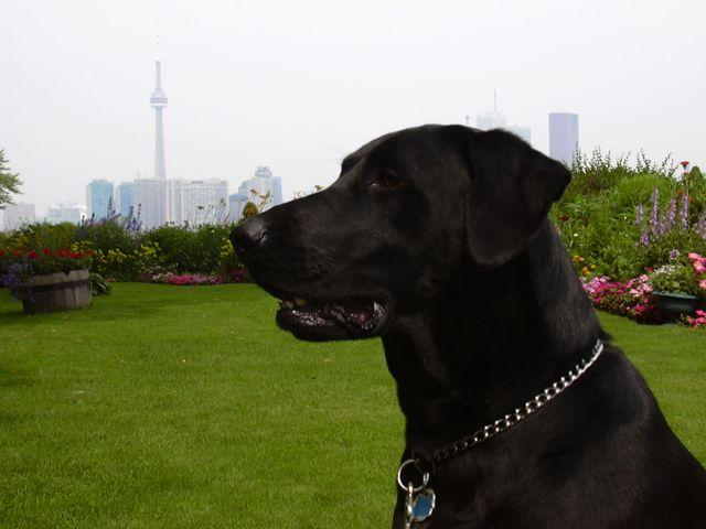 Black lab. Dogs can sniff out bowel cancer in breath and stool samples, with a very high degree of accuracy -- even in the early stages of the disease -- reveals new research. (Credit: Copyright Michele Hogan)