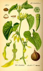 468px-Illustration_Aristolochia_clematitis0